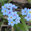 Mountain Forget-Me-Not
