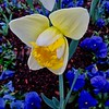 Daffodil Awakening