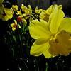 Rowdy Crowd of Glowing Daffodils