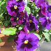 Mamma's Purple Pansies