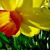 Daffodil Daz