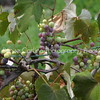 The Grapes of Wine