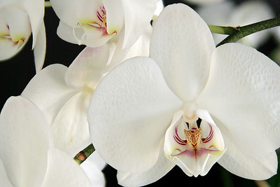Orchid 7