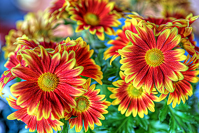 Mums the Word - HDR