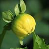 Closed Yellow Blossom