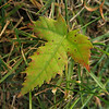 Maple Leaf in Grass