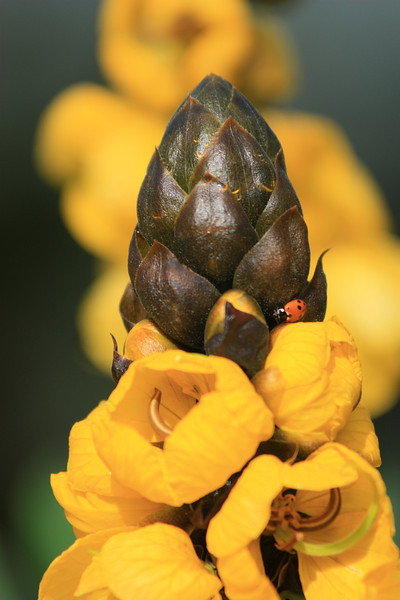 Yellow Flower with Green Buds and Lady Bug