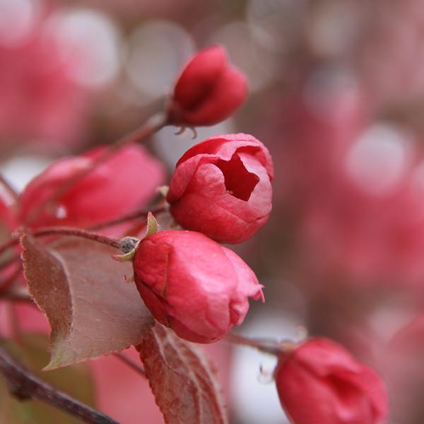 Flowering Plum Tree Blossom