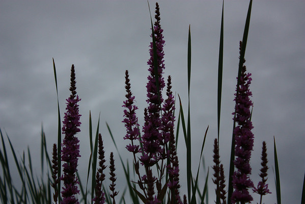 Purple Flowers Against Dark Sky
