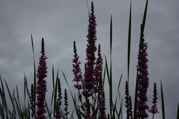 Purple Flowers Against Dark Sky