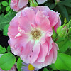 Wild Rose - Beautiful Imperfection