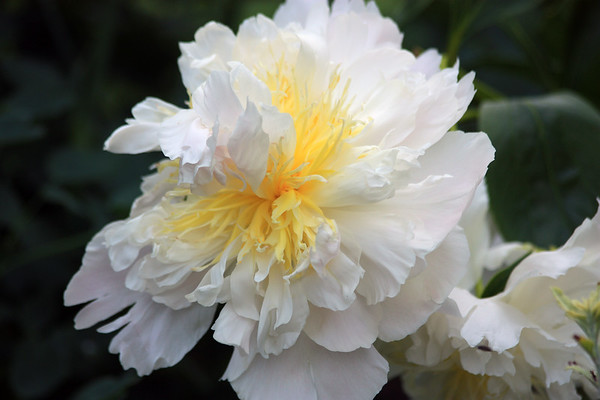 White and Yellow Peony