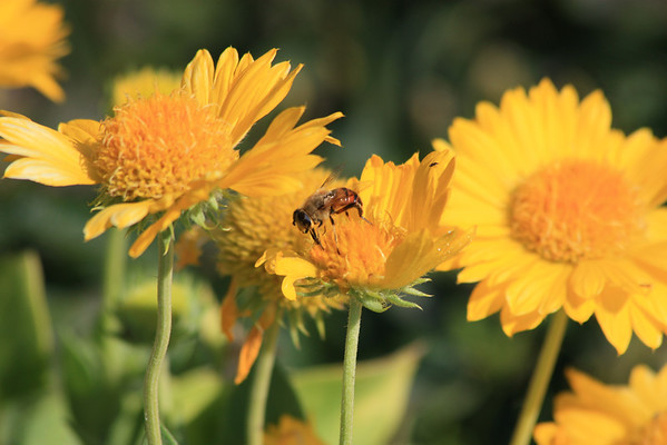 Bumble Bee on Yellow Daisy