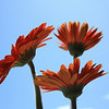 Orange Gerbera Daisies Reaching for the Sky