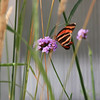 Small Monarch Butterfly in Tall Grass