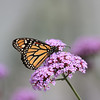 Monarch Butterfly on Delicate Mauve Flower