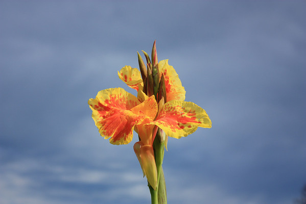 Yellow Cana Lily Against Blue Sky