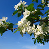 White Apple Blossom