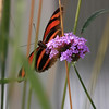Large Monarch Butterfly in Tall Grass