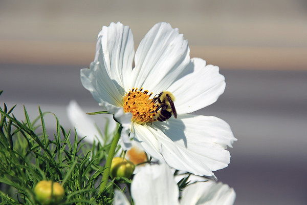 Bumble Bee on White Flower