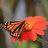 Monarch Butterfly on Orange Gerbera Daisy