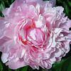 Full Pink Peony