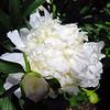 Bright White Peony