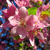 Flowering Plum Blossom