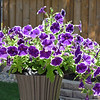 A Riot of Purple Petunias