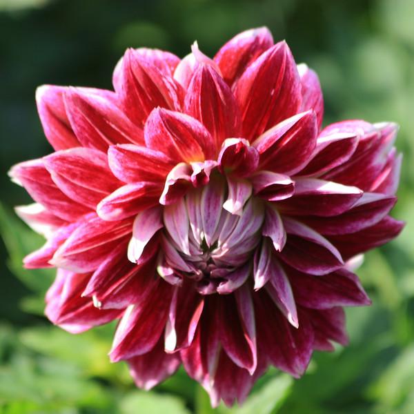 Full Red Flower