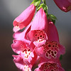 Pink Foxglove