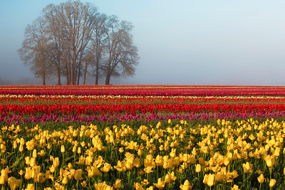 Tulips At Fogrise