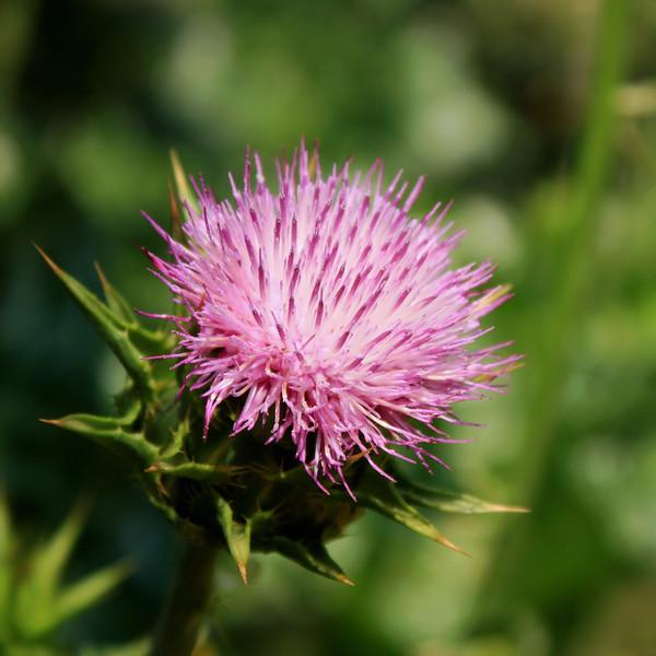 Purple Prickly Flower