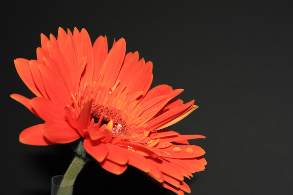 Orange Gerbera Daisy with Water Droplets