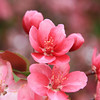 Flowering Plum Tree