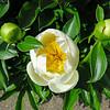 White Peony Blossom