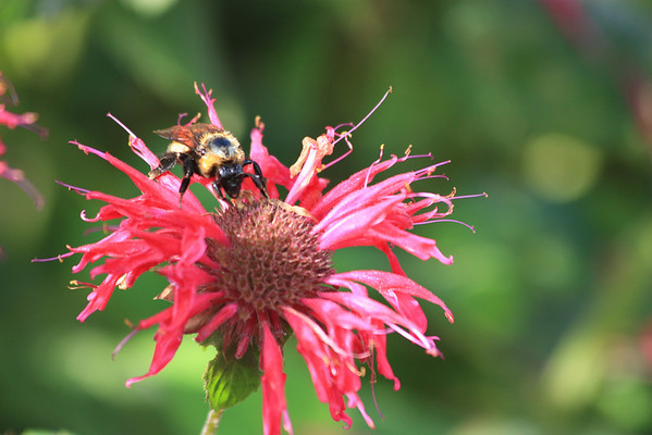 Bumble Bee on Pink Coneflower