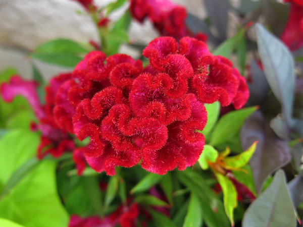 Twisted Celosia