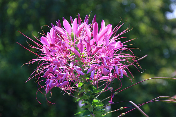 Purple Spikey Flower
