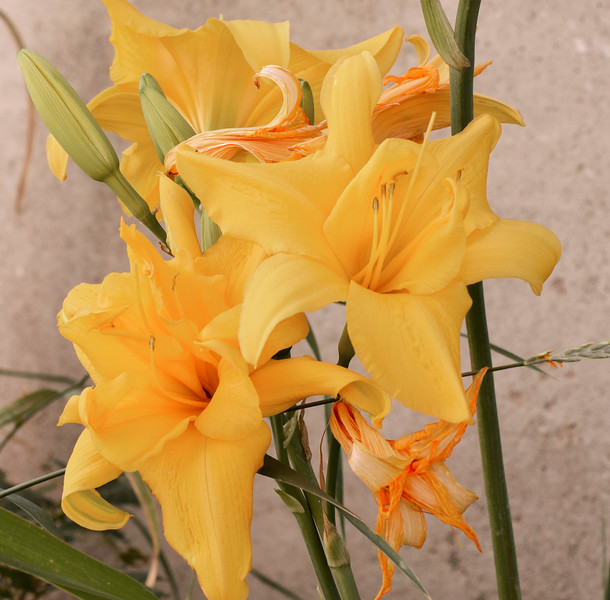 Daylilies Against theWall