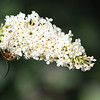 Bee on White Blossom