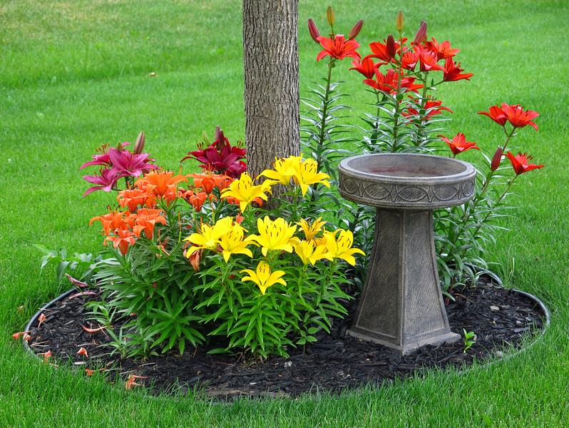 Blazing Lilies