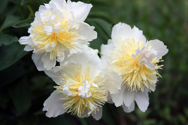 A Trio of White Peonies