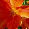 Tulip Gaze