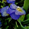 Pansy Water Drops