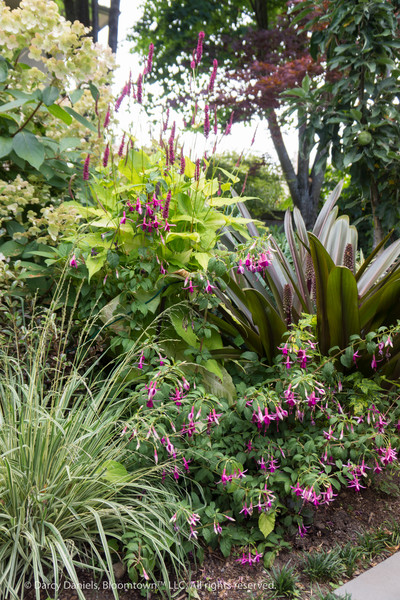 Mixed border in the garden of Darcy Daniels of Bloomtown™ Gardens in Portland, Oregon. Key players include, clockwise from right: Eucomis 'Sparkling Burgundy', Fuchsia 'Fuchsiade '88', Molinia careula 'Variegata', Hydrangea paniculata 'Quickfire', and Persicaria amplexicaulis 'Golden Arrow'.