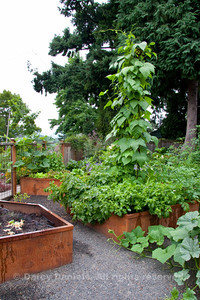 Vegetable garden made up of steel raised beds laid out in a pleasing geometric pattern. Open steel mesh panel provides perfect support for rambling veggie vines.  Garden Design: Darcy Daniels, Bloomtown Gardens, www.bloomtown.net. Steel fabrication of raised vegetable boxes and fence: Rob Trautmann. Garden contruction: Pete Wilson Stoneworks.