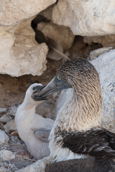 A blue-footed booby chick being fed