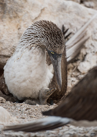 A blue-footed booby tends to its young chick
