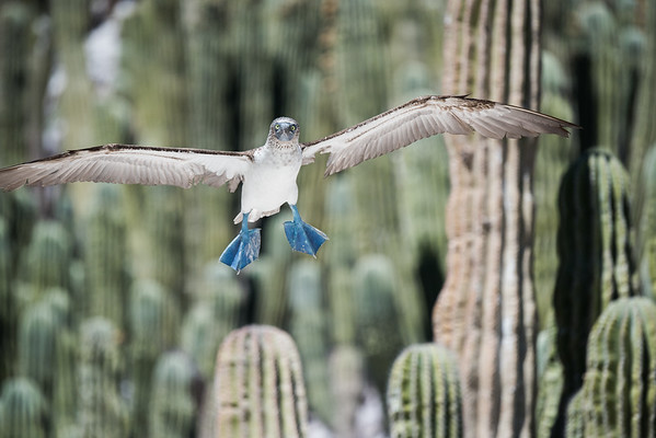 A blue-footed booby flying low in the dwarf cactus-covered portion of the island.